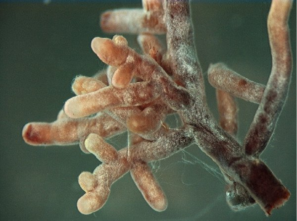 Close up of mycorrhizal fungi