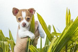 Jenis Anjing Chihuahua bulu pendek