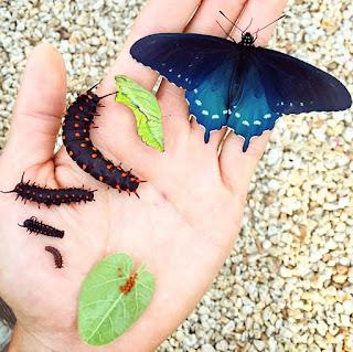 една от най-ценните и красиви пеперуди на Северна Америка