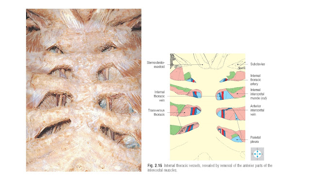 Internal thoracic vessels, revealed by removal of the anterior parts of the intercostal muscles.