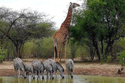 Botswana zebras giraffe