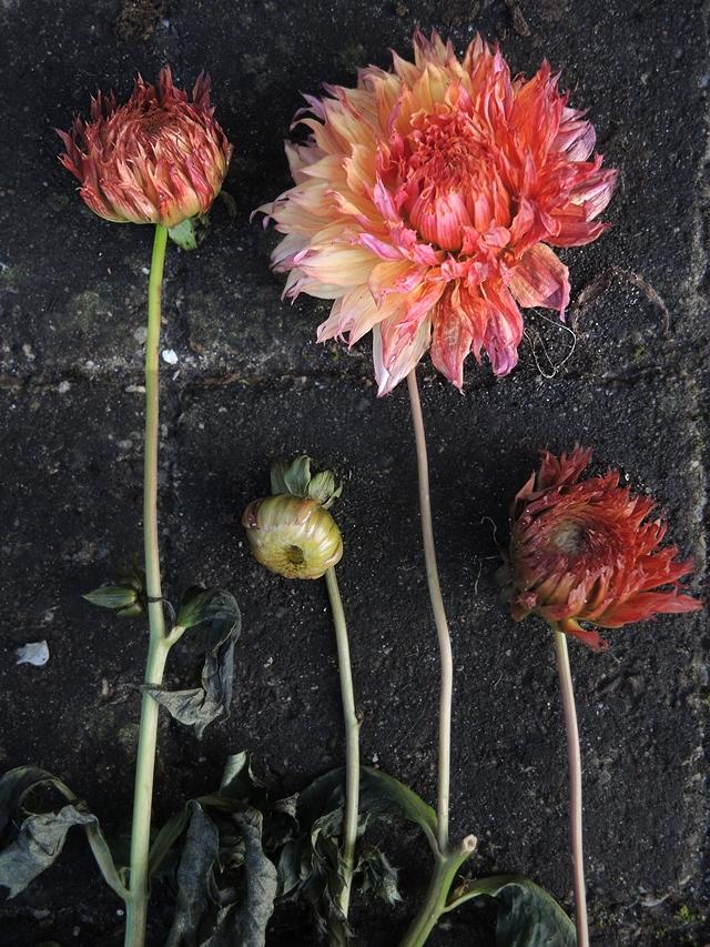 In mijn tuin: Hoe ik probeer dahlia's te kweken