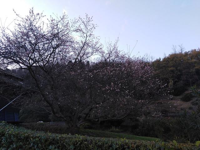 Prunus x subhirtella in Inverno