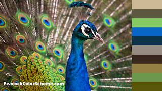 peacock color images
