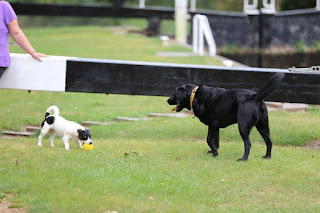 Guide Dog Oakley playing with Jack.