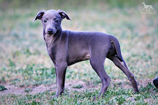 http://www.italiangreyhound.eu/2016/03/stupor-mundi-thangurel-elvish-princess.html