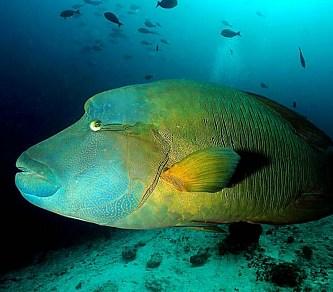 Ikan Napoleon di Anambas