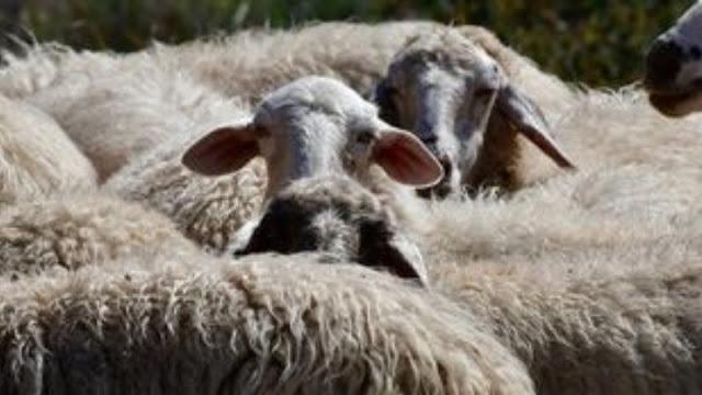 Ο καταρροϊκός πυρετός έκανε την εμφάνιση του σε πρόβατα στη Λακωνία