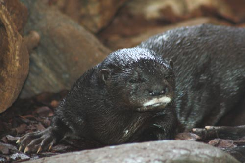 Spotted-Necked Otter