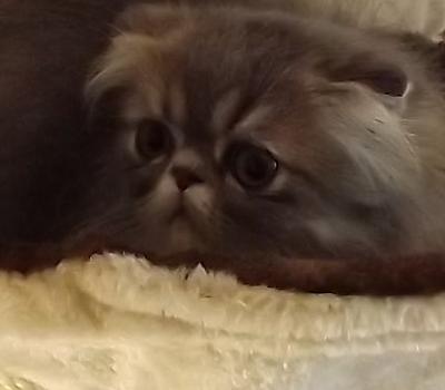 Jenis Ras Kucing Perfold