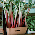 Rhubarb, the wondrous drug and its medical benefits