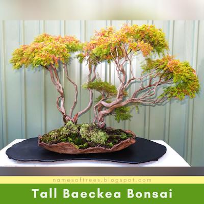 Tall Baeckea Bonsai