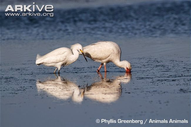 interactions between ciconiiformes snowy egret