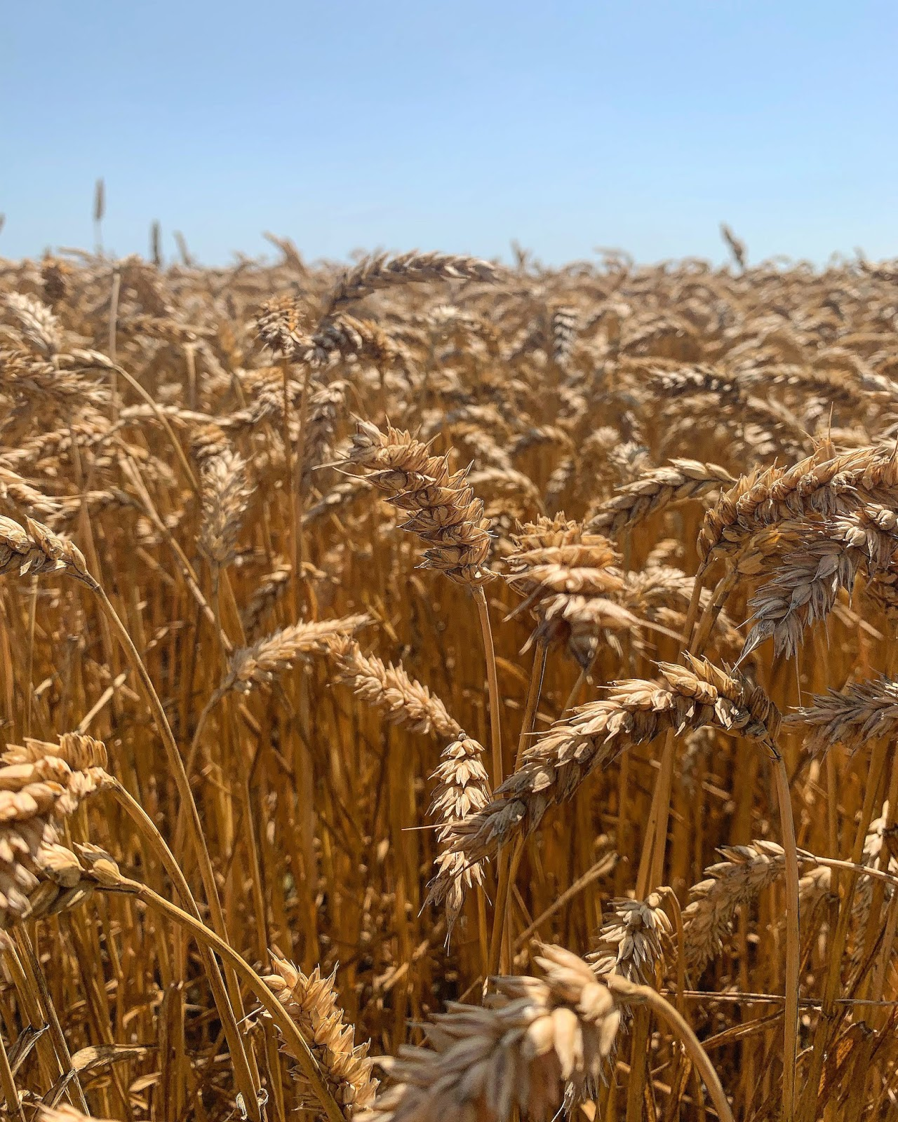 Skånska slättens sädesfält