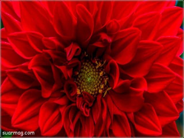 صور ورد - ورد احمر 1 | Flowers Photos - Red Roses 1