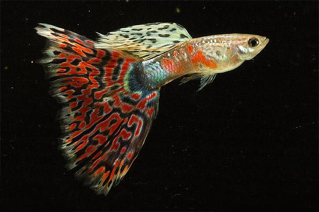 Tricks in kerala aquariums india: mailnly available aquarium fishes