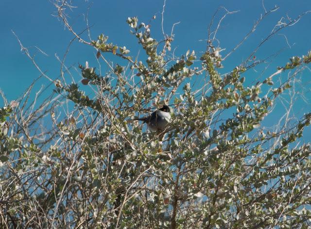 Sardinian Warbler - Playa de Muro Steg, Mallorca