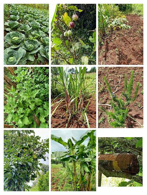 Cabbages, tree tomatoes, cassava, stinging nettle, sugarcane, rosemary, avocado, banana, beehive etc