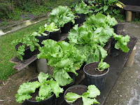 lettuce in pots