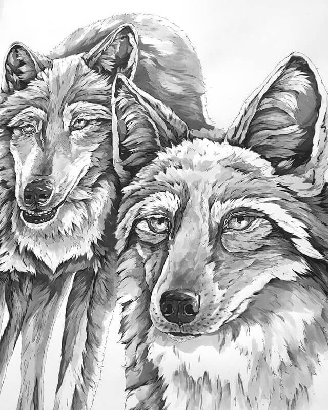12-Coyotes WIP-A-Landerman-Animal-Drawings-Paintings-in-Graphite-and-Ink