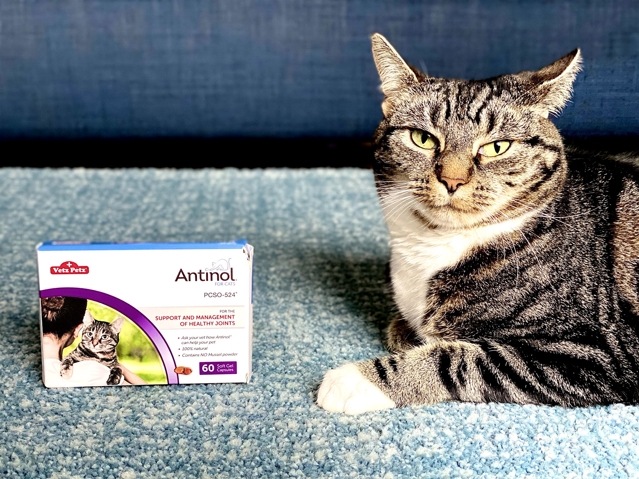 A tabby cat sitting on a blue rug next to a box of Antinol for increased mobility for cats and dogs