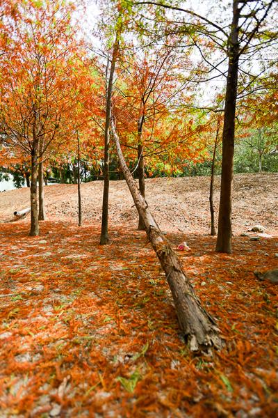 臺中新的霧峰落羽松秘境。萬豐社區落羽松森林。落葉形成美美地毯@旅行好有趣