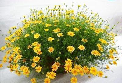 hoa cuc sao bang nho