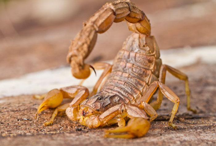 Dedetização de Escorpião