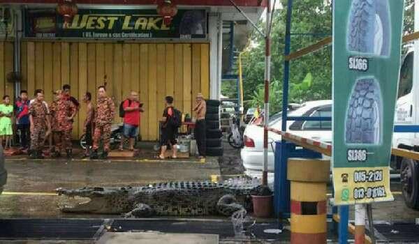 Buaya Besar Muncul Di Tengah Bandar Limbang