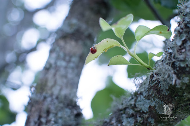 Lady Bug in Bradford Pear July 15 2020  (©Jenny Bell @ Flutterbye Chronicles)