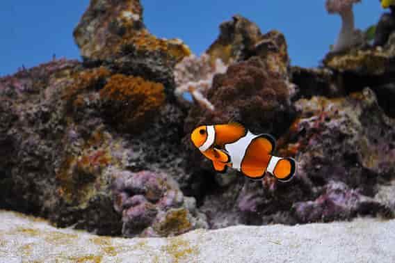 Clown fish aquarium