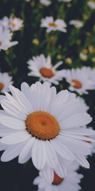 Những cánh hoa cúc họa mi mang vẻ đẹp thánh thiện