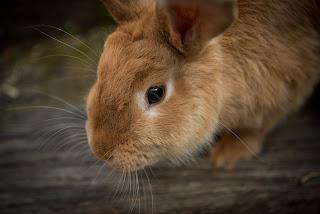 A orange coloured rabbit sitting on dark wood