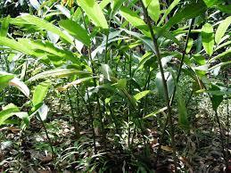 Cây sa nhân là cây gì? có tác dụng gì? trồng mọc ở đâu?