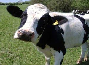 perbedaan-sapi-kerbau-banteng.jpg
