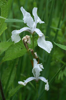 Iris versicolore blanc - Iris à fleur blanche