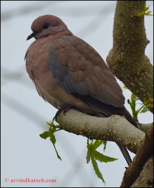 dove, laughing, palm dove,