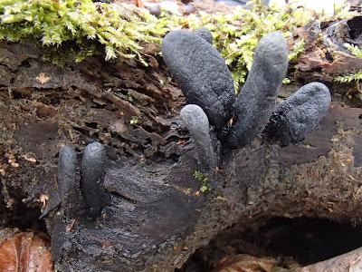 grzyby zimowe, grzybobranie w zimie, grzyby w lutym, Schizophyllum amplum rozszczepka kloszowa, Encoelia furfuracea orzechówka mączysta, Auricularia auricula-judae uszak bzowy, Schizophyllum commune rozszczepka pospolita, Tubaria furfuracea trąbka otrębiasta, Płomiennica zimowa [Zimówka aksamitnotrzonowa] Flammulina velutipes, Xylaria polymorpha próchnilec maczugowaty, Nectria cinnabarina gruzełek cynobrowy, kisielnica kędzierzawa. Exidia nigricans, Ascocoryne sarcoides galaretnica mięsista