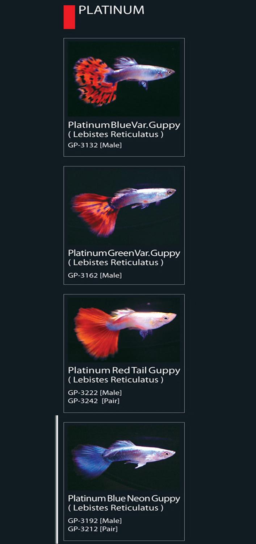 36 Jenis Ikan Hias Guppy Populer Ikan Koi
