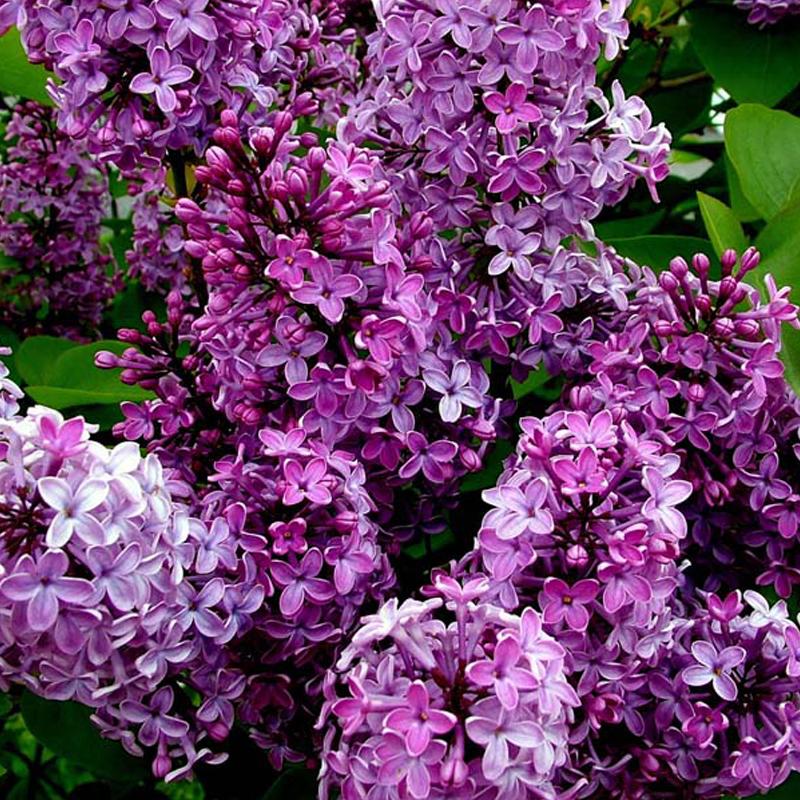 Hoa Đinh Hương rất đẹp, hoang dại và trong sáng