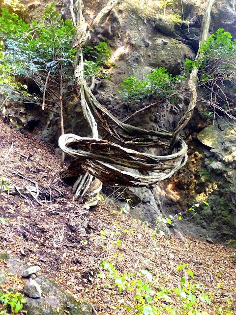 裂けてうねる木
