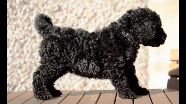 black-goldendoodle-curly-coat