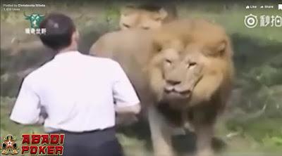 Black News Video Jatuh Ke Kandang Singa Pria Ini Sangat Tenang Hadapi Singa