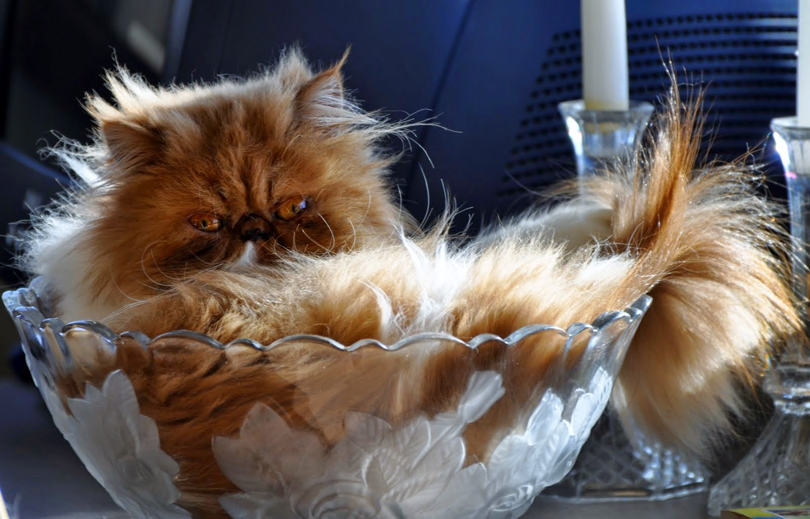 Exotic Shorthairs and Persians in Idaho Kittens on their way