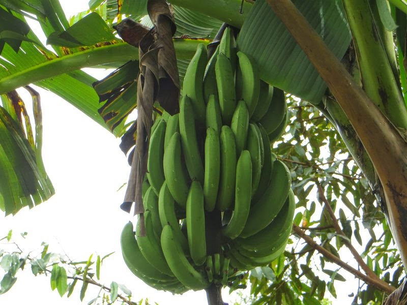 Бананы на банановом дереве