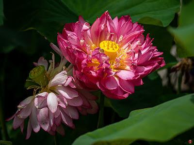 Sacred Lotus flowers: Ofuna Botanical Garden (Kamakura)
