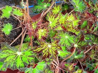 jual-tanaman-begonia-green-star.jpg