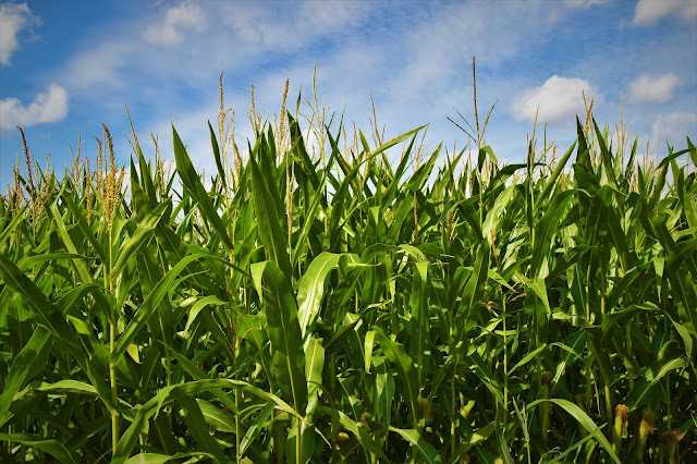 CORN FARMING NEW TECHNOLOGY
