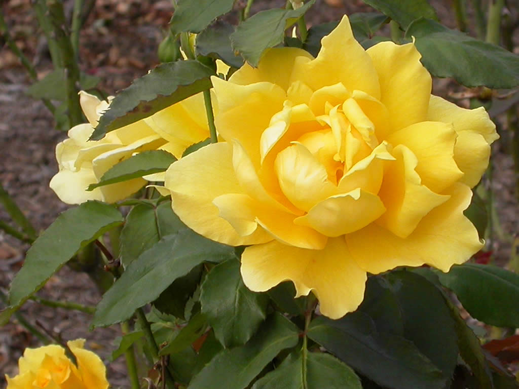 Roses In Garden: Yellow Wallpaper: Yellow Rose HD Wallpaper Download Free