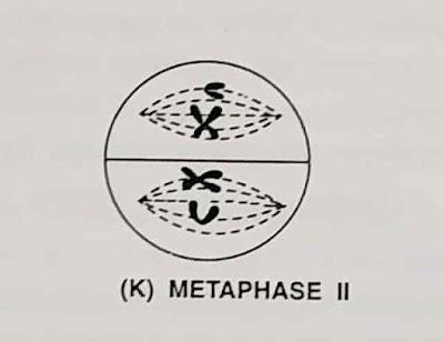What is meiosis